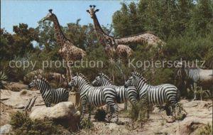 Disneyland California African Veldt Zebras Giraffen  Kat. Anaheim