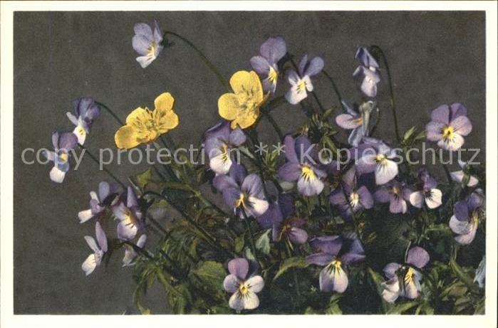 Blumen Stiefmuetterchen Viola tricolor / Pflanzen /