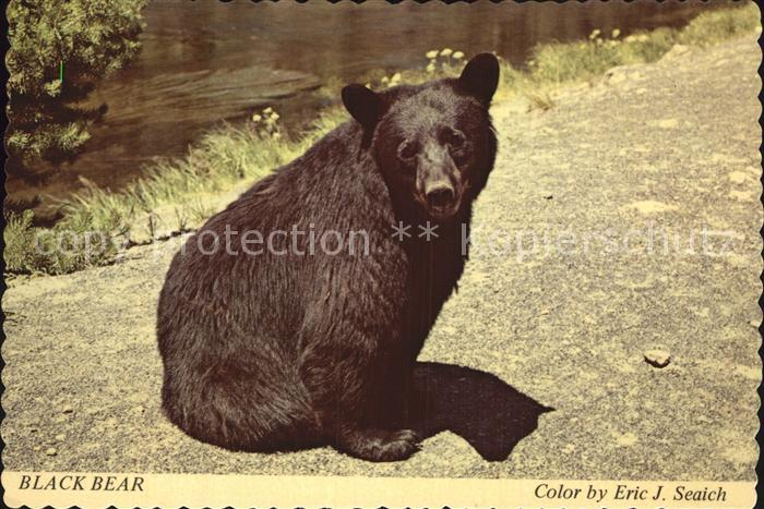 Yellowstone National Park Wistful Bear Kat. Yellowstone National Park