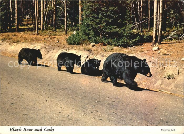 Yellowstone National Park Black Bear and Cubs Kat. Yellowstone National Park