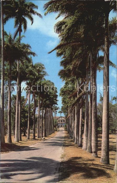 Barbados Palmenallee Kat. Barbados