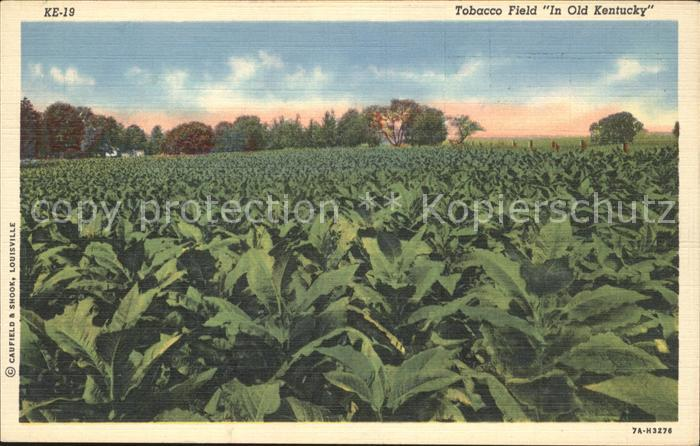 Kentucky US State Tobacco Field in Old Kentucky