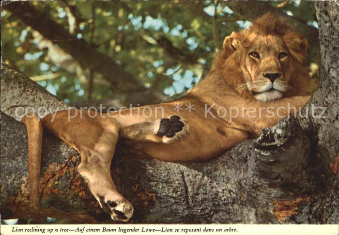 Loewe Liegender Loewe auf einem Baum  Kat. Tiere