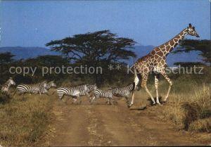 Giraffe Zebras  Kat. Tiere