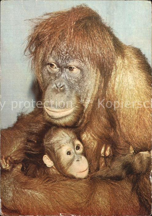 Affen Orang Utan  Kat. Tiere