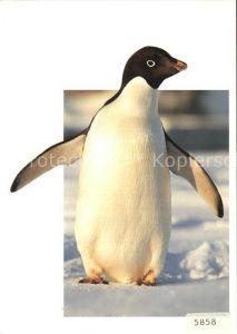 Pinguin Adelie Pinguin Pygoscelis adeliae  Kat. Tiere