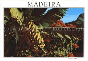 Bananen Madeira Bananeira  Kat. Pflanzen