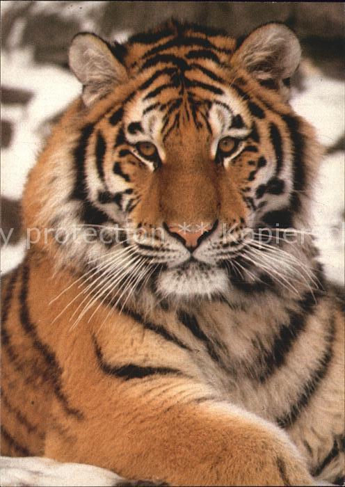Tiger Tiere Sibirischer Tiger Zoo Zuerich Kat. Tiere