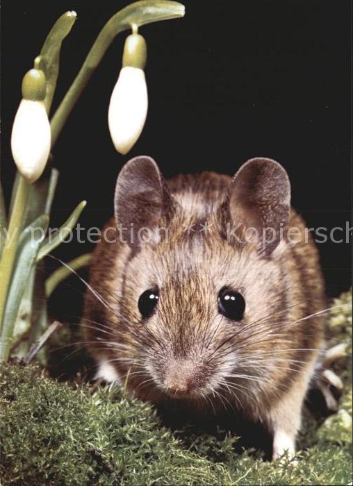 Tiere Maus Souris Mouse  Kat. Tiere