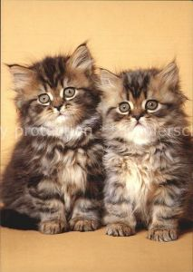 Katzen Perserkatze Chat de Perse Persian Kat. Tiere