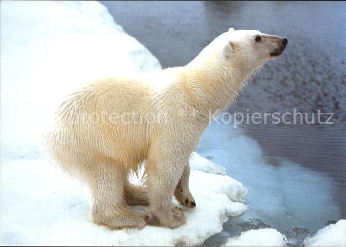 Eisbaer Polar Bear Norway  Kat. Tiere