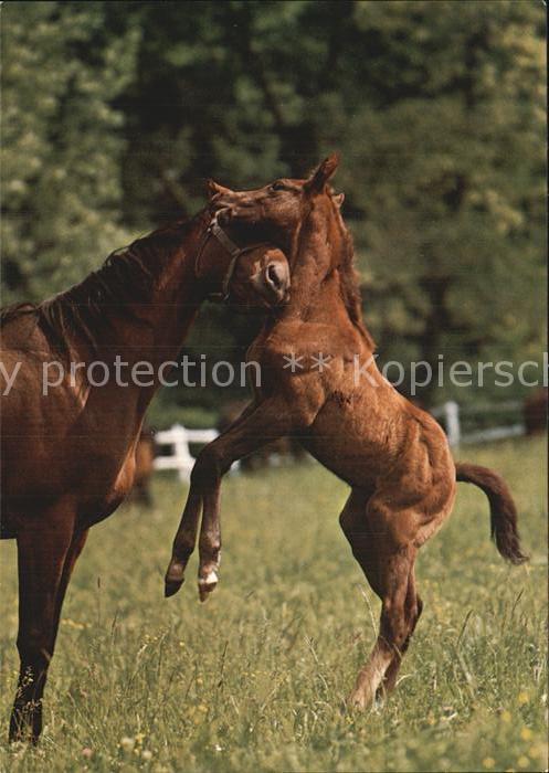 Pferde Ungarische Vollblut Pferde  Kat. Tiere