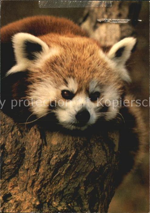 Pandabaer Kleiner Panda Zoo Zuerich  Kat. Tiere