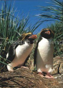 Pinguin Goldschopf Pinguin Eudyptes chrysolophus Kat. Tiere