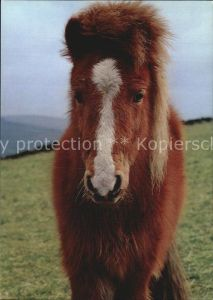 Pony Tiere Englisches Pony  Kat. Tiere