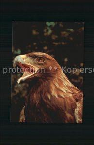 Adler Steinadler Aquila crysaetos Aigle royal Golden Eagle Kat. Tiere