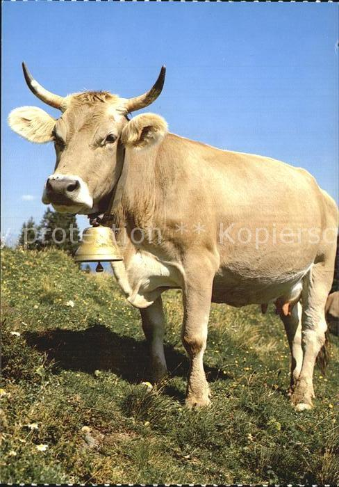 Kuehe Vache Cow  Kat. Tiere