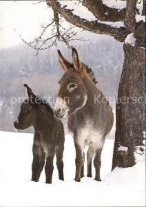 Esel Tiere Ane Donkey Kat. Tiere