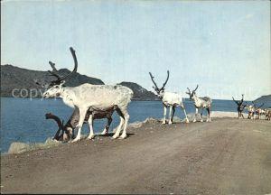 Rentier Reindeer North Cape Road Norway Kat. Tiere