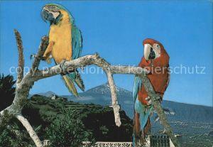 Papagei Teide Papagayos y Pico del Teide  Kat. Tiere