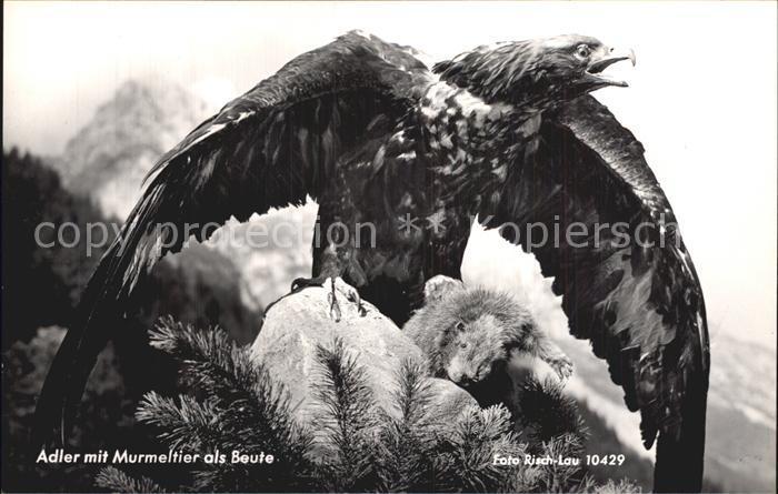 Adler Murmeltier als Beute Foto Risch Lau Nr. 10429 Kat. Tiere