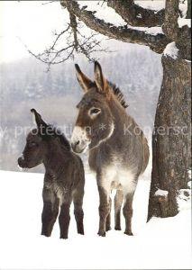 72610224 Esel Tiere Ane Donkey  Tiere Esel_Tiere