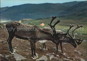 Rentier Norway Reindeer at Skarsvag Kat. Tiere