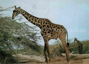 Giraffe Maasai Giraffe  Kat. Tiere