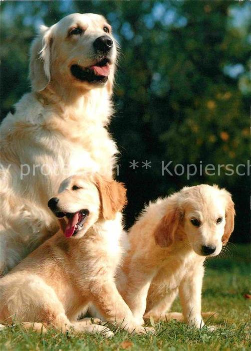 hunde golden retriever welpen kat tiere nr kv57475 oldthing pflanzen tiere. Black Bedroom Furniture Sets. Home Design Ideas