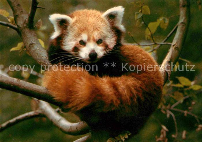 Tiere Kleiner Panda Katzenbaer Zoo Zuerich  Kat. Tiere