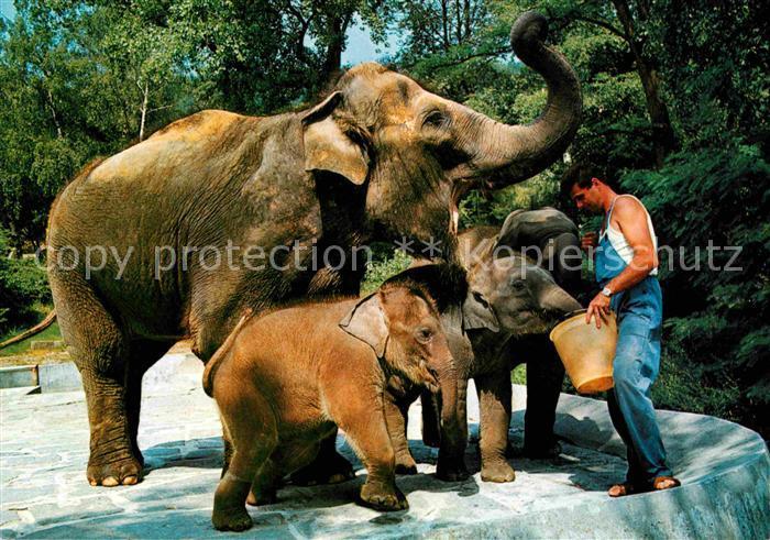 Elefant Indische Elefanten Zoo Zuerich  Kat. Tiere