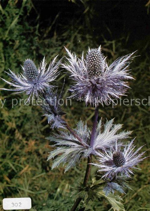Blumen Alpen Mannstreu Eryngium alpinum  Kat. Pflanzen