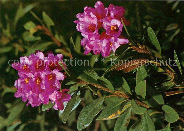 blumen rhododendron ferrugineum alpenrose alpine. Black Bedroom Furniture Sets. Home Design Ideas
