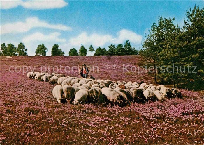 Schafe Heidschnuckenherde Wietzer Berg Naturpark Suedheide Kat. Tiere
