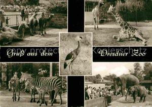 Zoo Dresden Kamele Giraffeb Zebras Elefanten Kat. Tiere