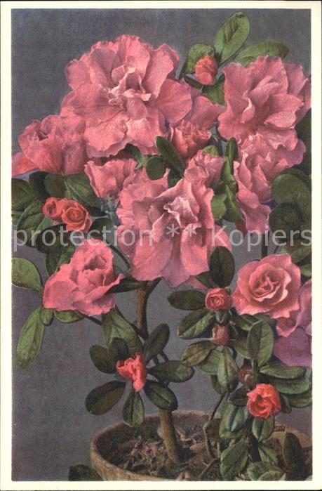 AK / Ansichtskarte Blumen Garten Azalee Azalea indica Foto E. Gyger Nr. 1526 Kat. Pflanzen