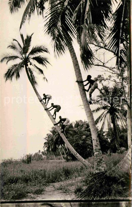 AK / Ansichtskarte Guinee Guinea La Cueillette des Noix de Coco