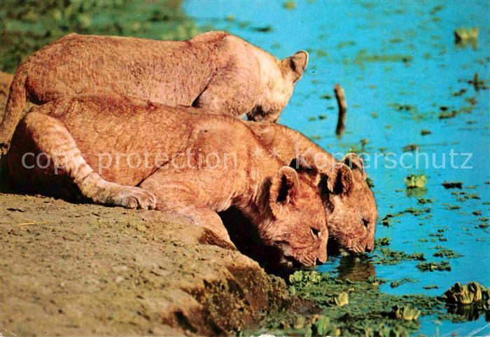AK / Ansichtskarte Loewe Loewin Africa Lionesses  Kat. Tiere