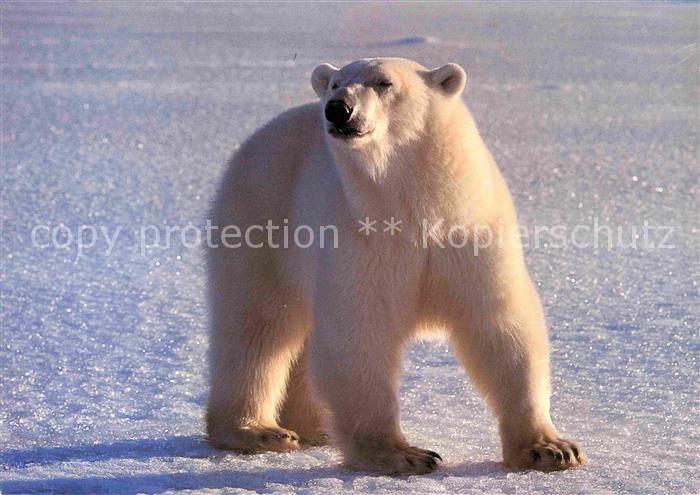 AK / Ansichtskarte Eisbaer Ours Blanc Polar Bear  Kat. Tiere