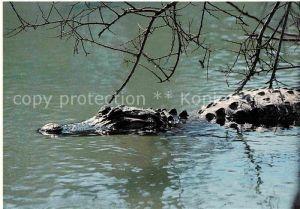 AK / Ansichtskarte Krokodile American Alligator Louisiana Swamp Exhibit  Kat. Tiere
