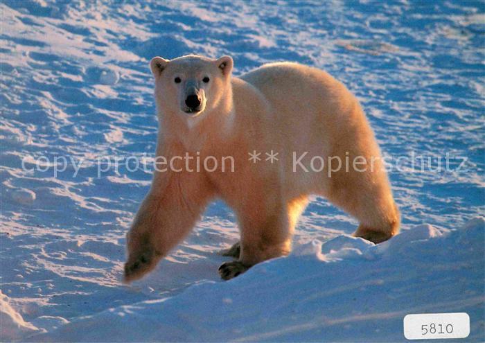 AK / Ansichtskarte Eisbaer Thalarctos maritimus Ours blanc Polar bear  Kat. Tiere