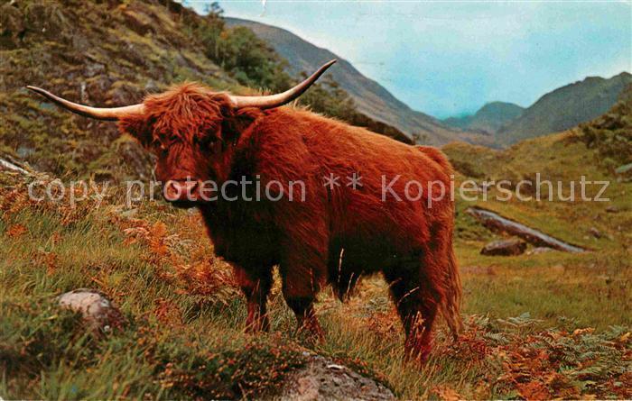 AK / Ansichtskarte Tiere West Highland Kyloe Cattle Scotland  Kat. Tiere