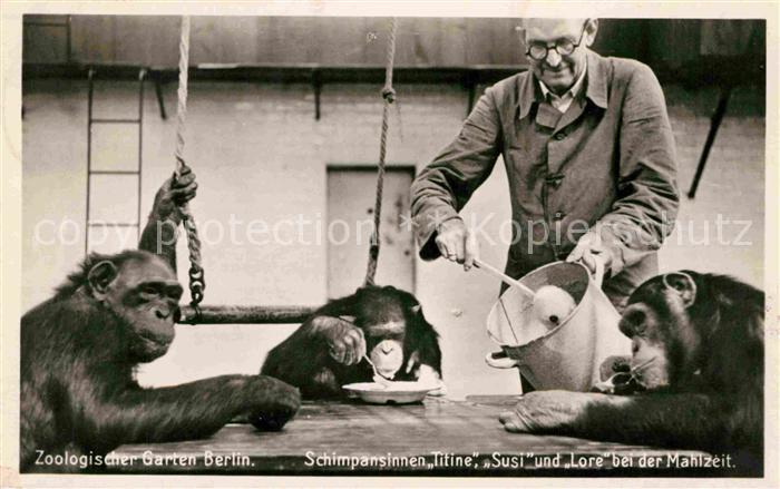 AK / Ansichtskarte Zoo Berlin Schimpansinnen Mahlzeit Zoowaerter  Kat. Tiere