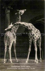 AK / Ansichtskarte Giraffe Ostafrikanische und abessinische Giraffe Zoo Berlin  Kat. Tiere