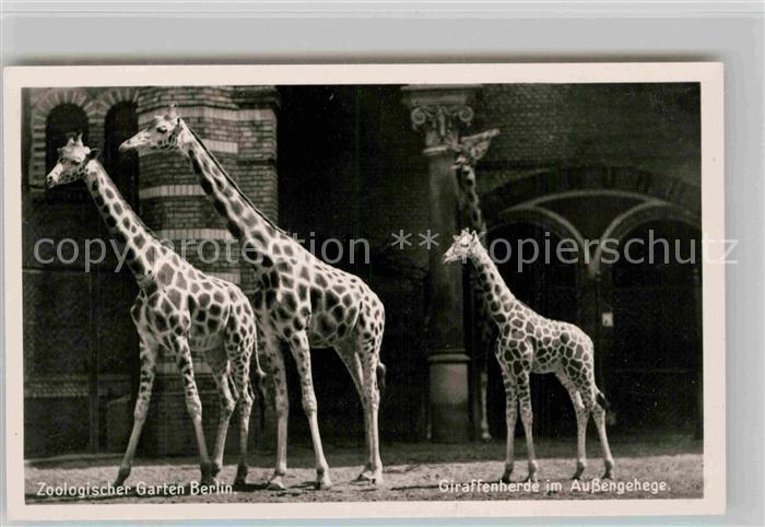 AK / Ansichtskarte Giraffe Zoo Berlin Giraffenherde Aussengehege Kat. Tiere