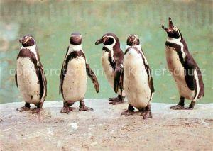 AK / Ansichtskarte Pinguin Humboldt Pinguin  Kat. Tiere