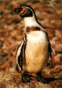 AK / Ansichtskarte Pinguin Humboldtpinguin Vogelpark Walsrode Kat. Tiere