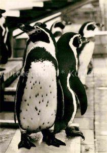 AK / Ansichtskarte Pinguin Humboldtpinguine Zoo Dresden Kat. Tiere