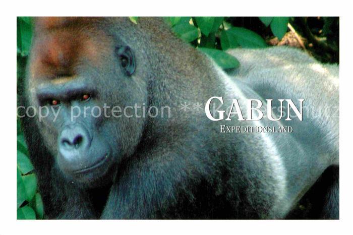 AK / Ansichtskarte Affen Gorilla Gabun Afrika  Kat. Tiere
