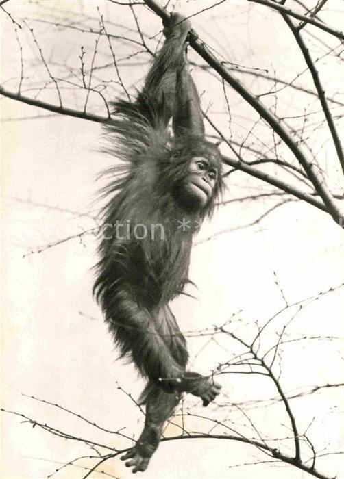 AK / Ansichtskarte Affen Junger Orang Utan  Kat. Tiere
